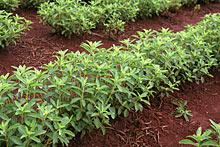 stevia-plantage
